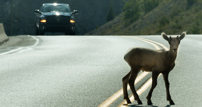 Incidente Stradale Con Animali Selvatici: Ottenere Il Giusto Risarcimento è Possibile